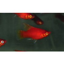 Platy Voile Rouge  3-3.5